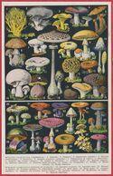 Champignon. Champignons Comestibles, Mortels Et Toxiques ... Illustration Adolphe Millot. Constellations. Larousse 1954. - Documenti Storici