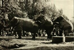 Dresden  Zoologischer Garten   Indische Elefanten - Dresden