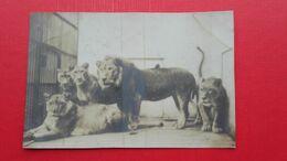 Lion,Elephant.Zoo?-5 Old Photos - Tauri