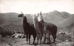 PERU - Llamas - Ed. Chambi - Peru