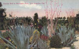 LOS ANGELES, California, 1900-10s; Cactus Bed In Westlake Park - Sukkulenten