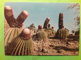 Melocactus Intortus,Tête à L' Anglais,  Cactus Endémique Des Antilles Françaises, LES SAINTES LA DESIRADE,ST BARTHÉLEMY - Sukkulenten