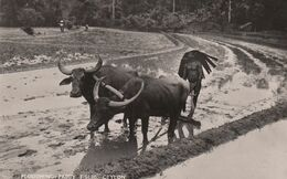 RP: Ploughing Paddy Fields , CEYLON , 1930s - Paesani