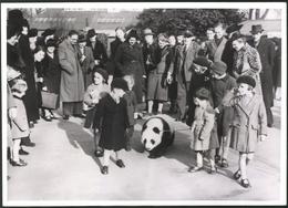 Photo Ansicht London, Rekordbesuch Im Zoo Bei Spaziergang Mit Panadabär 1939 - Luoghi