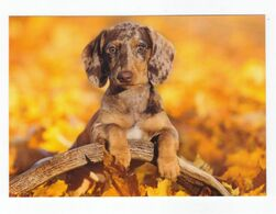 Postcard Teckel Dackel Puppy Dog Welpe Hund Petit Chien Perro Cachorro Cão Cao 15,9 Cm X 11,2 Germany Not Circulated - Hunde