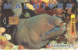 MAL-C-02g - Moray Eel - 335MLDGIC - Maldives