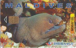 MAL-C-02e - Moray Eel - 274MLDGIA - Maldives