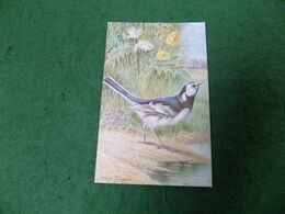 VINTAGE TOPICS - ANIMALS: BIRDS Wagtail Art George Rankin Colour Salmon - Birds