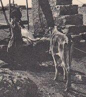 RURAL WELL. BUSHIRE. HOMME AVEC VACHE. EDIT: A.R. FERNANDES. IRAN CPA CIRCA 1900's NON CIRCULEE -LILHU - Iran