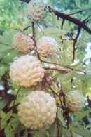 Bangladesh Custard Apple Fruit ( Atis ) - Bangladesh