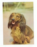 Postcard Teckel Dog Dackel Hund Perro Chien Petit Cachorro Cao Germany Not Circulated - Hunde