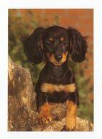 Postcard Teckel Teckel Dog Puppy Hund Welpe Petit Chien Perro Cachorro Cão Cao Germany Not Circulated - Hunde