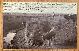 Romania 632 Temesvar 04.05.1904 Cows - Romania
