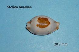 Cypraea   Stolida Aurelia  Philippines  20,3 Mm - Seashells & Snail-shells