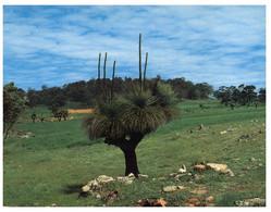 (O 13 B) Australia - WA - Black Boy (tree) - Trees
