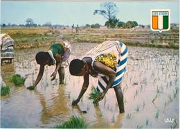République De La Côte-d\'Ivoire - Repiquage Du Riz à Khorogo - Costa De Marfil