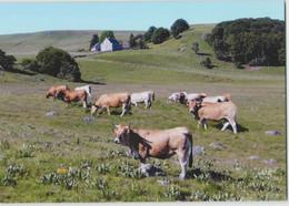 CPM 48 LES SALCES ... Salles Basses, Pâturage D'Aubrac (Livenais) Vaches - France