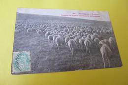 MONTAGNES D'AUBRAC ...TROUPEAU DE MOUTONS TRANSHUMANTS DU LANGUEDOC ... - France