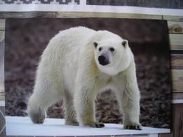 Représentation Du Timbre, Polar Bear, NE Greenland, Ours Polaire, Nord-est Du Groenland - Groenlandia