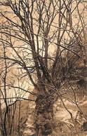 Hans-sur-Lesse - Orme (arbre Remarquable 1910) - Rochefort