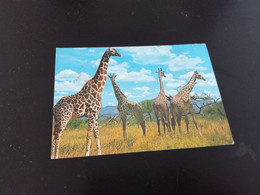 Kensta Wildlife Giraffes Somalia Animal Animaux En L Etat Sur Les Photos - Somalia