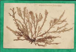 Algues Marines Naturelles (collées Sur La Carte) 2scans Lucien Amiaud Les Sables-d'Olonne (85) 22-02-1918 - Flores, Plantas & Arboles