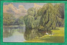Lac étang Saule Pleureur Cygnes 2scans - Trees