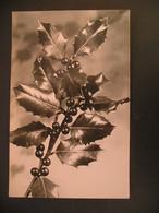 Holly - Trees