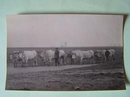 L'AGRICULTURE. GROUPE DE BOEIUFS AVEC LE JOUG. CARTE-PHOTO. - Agricultura