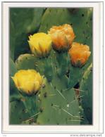 Kaktus-Blüte, Cactus Blossom - Englemann's Prickly Pear, Tapeats Creek, Large Format  Cactus Cactaceae Kakteen - Sukkulenten