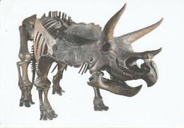 Postcard - Natural History Museum - Triceratops 6m Long New - Non Classificati