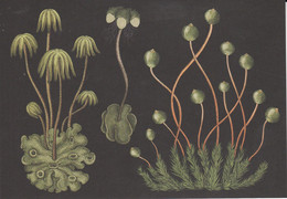 Postcard - Botanicum - Bryophytes - Detailes On Rear -  New - Cartoline