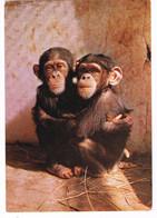 CPA. Rio Muni.   Maman Et Bébé Chimpanzés.    Pub Au Dos. (AA2.12) - Zonder Classificatie