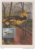 CARTE MAXIMUM    OISEAU  LORIOT JAUNE - Songbirds & Tree Dwellers