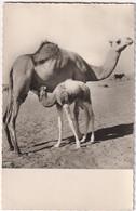 Souvenir De Mairitanie - & Camel - Mauritania