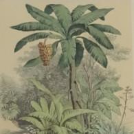 Bananenboom 1880 - F. Trees & Shrub
