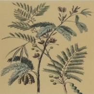 Zwei Mimosen 1884 - F. Trees & Shrub