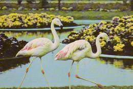 Zoo / Hodenhagen / Serengeti / Flamingo (D-A342) - Sonstige
