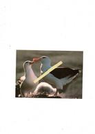 Antarctique British Survey Albatros - Vogels