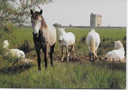 CPSM - LA CAMARGUE - Chevaux Dans Les Marais ~Editions Du Soleil  D.Payan Photographie Editeur - Horses