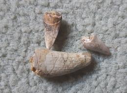 3 Dents De Phytosaure, Archosaure, Rutiodon, Trias, Rhétien, St-Nicolas-de-Port (54), - Fossils