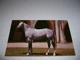1950s SENIOR SIRE HORSE At KELLOGG UNIT, CAL POLY, POMONO CALIFORNIA VTG POSTCARD - Cavalli