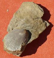 Pecten Fossile Chlalys Sur Sa Gangue Néocène 50 Millions D'années, Aude - Fossils