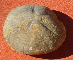 Oursin Fossile  Micraster Corbaricus Crétacé 85 Millions D'années Aude - Fossils