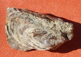 Huître Fossile Ostrea Belovacina Paléocène 55 Millions D'années - Fossils