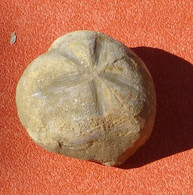 Oursin Fossile  Micraster Corbaricus Crétacé 85 Millions D'années Aude - Fossili