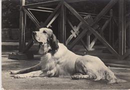 CARTOLINA  - CANE - DOG - CHIEN - PERRO - UND  - Viaggiata 1960 - Chiens