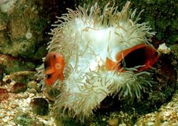 CPM - Musée Océanographique MONACO - Clown De Feu … - Edition Yvon - Fish & Shellfish