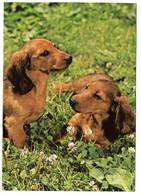 DC3217 - Hunde - Dackel Dachshund Postkarte Michel Kunstverlag - Hunde