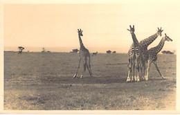 ** Carte Photo Real Photo ** AFRIQUE NOIRE - KENYA Troupeau De Girafes / Herd Of Giraffes - Format CPSM PF Black Africa - Kenia